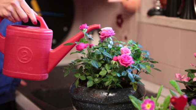 Detail of a woman watering her roses bowl  potted plant stock videos & royalty-free footage