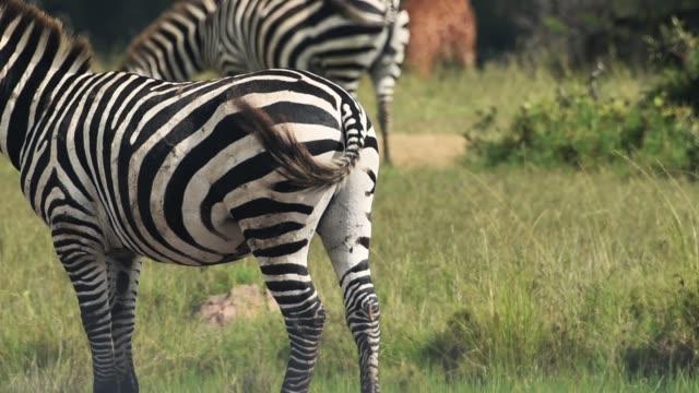 Detail of a zebra tail driving the flies away, in the Kenyan savannah, Africa