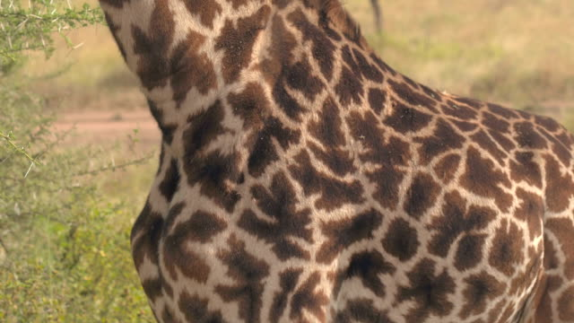 CLOSE UP: Detail of beautiful giraffa pattern fur with big brown patches video