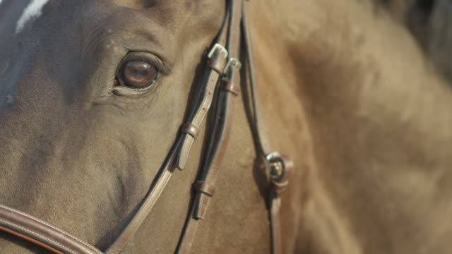 SLOW MOTION CLOSE UP: Detail of blinking eye and horse's head with bridle on video
