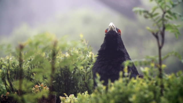 detalj av tjäder (tetrao urogallus) i skogen - tjäder bildbanksvideor och videomaterial från bakom kulisserna