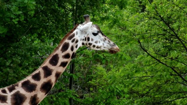 Detail of chewing giraffe video