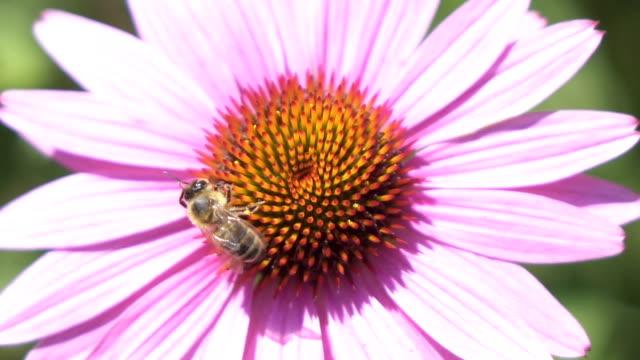 Makro: Detail der domestizierte Honigbiene sammelt Blütennektar und wegfliegen – Video