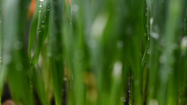 detail of drops of water on the grass. rack focus. - rack focus video stock e b–roll