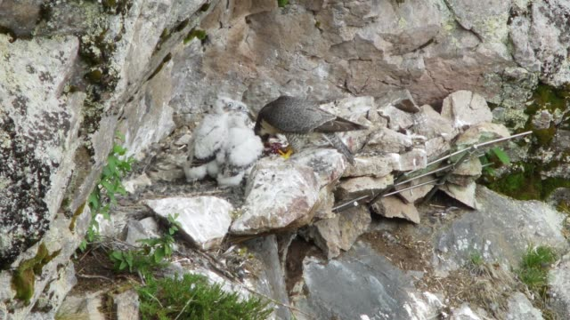 Detail of eagle feeding chick video