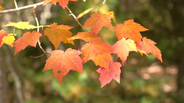 DOF: Detail of fall foliage leaves on maple tree twig turning red in autumn video