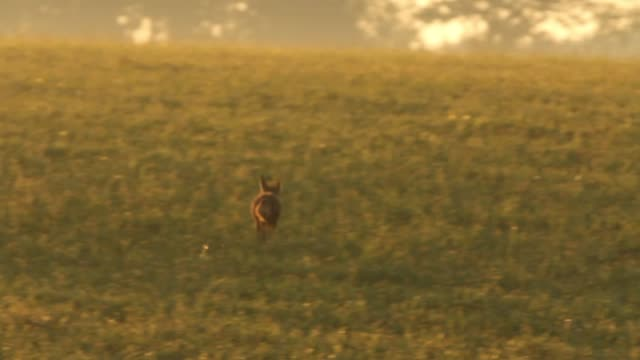 Detail of fox (Vulpes vulpes) crossing field video