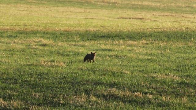 Detail of fox (Vulpes vulpes) crossing field