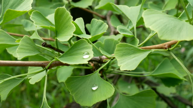 Detail of Ginkgo Leave with Drops of Water. Zoom in. natural light ginkgo tree stock videos & royalty-free footage