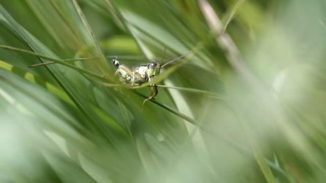 detail der heuschrecke (springen auf frieden gras) - grashüpfer stock-videos und b-roll-filmmaterial