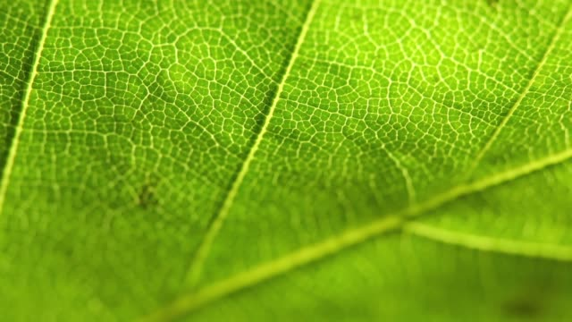 Detail of green leaf video