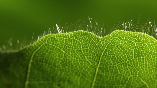 Detail of green leaf Nature views in Germany's Black Forest region leaf vein stock videos & royalty-free footage