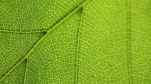 vidéos et rushes de détail de feuille verte - nervure