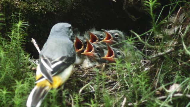 detail der gebirgsstelze (motacilla cinerea) fütterung küken im nest - nest stock-videos und b-roll-filmmaterial