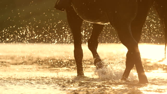 CLOSE UP: Detail of horse legs wading through the river sprinkling water around SLOW MOTION, CLOSE UP, DOF: Rear view of beautiful dark brown horse with unrecognizable rider wading through the river splashing waterdrops around in golden light sunset. Stallion walking in riverbed horseback riding stock videos & royalty-free footage