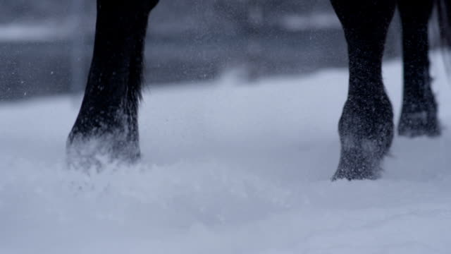 SLOW MOTION, CLOSE UP: Detail of horse legs walking in fresh soft snow in winter video