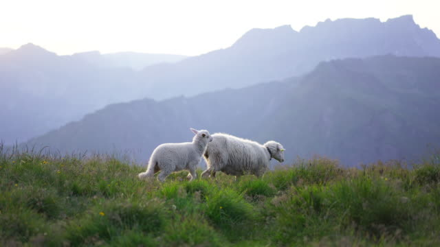 Detail of mother and baby sheep walking at sunset