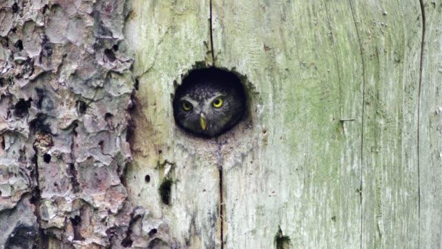 detail of owl (strigiformes) - dziura filmów i materiałów b-roll