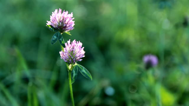 Detail of purple blossom clover in wind with grass background