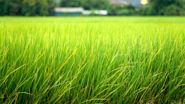 SLOW MOTION: Detail of rice ear on the top of a rice plant growing on gorgeous rice paddy field on an organic agricultural farm in sunny Bali. Ripe seeds on a stem. Grains before autumn harvest video