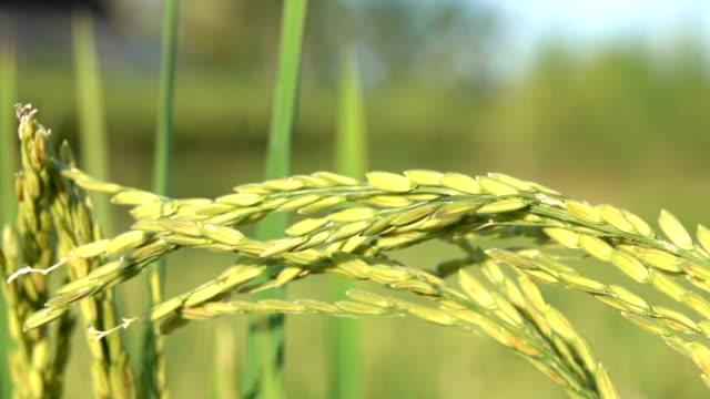 植物作物の乾燥の殻で覆われた熟したイネ種子のマクロをクローズ アップ: 詳細 - 稲点の映像素材/bロール