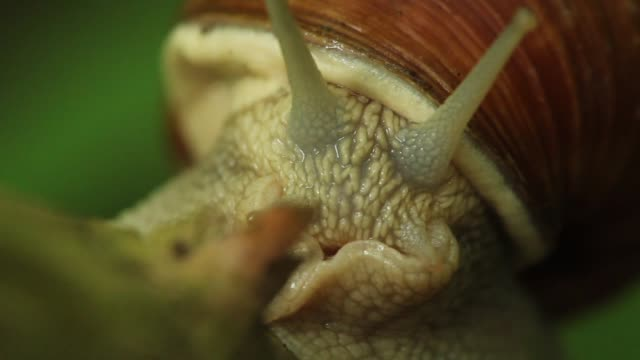 Detail of snail (Helix pomatia) crossing plant stalk