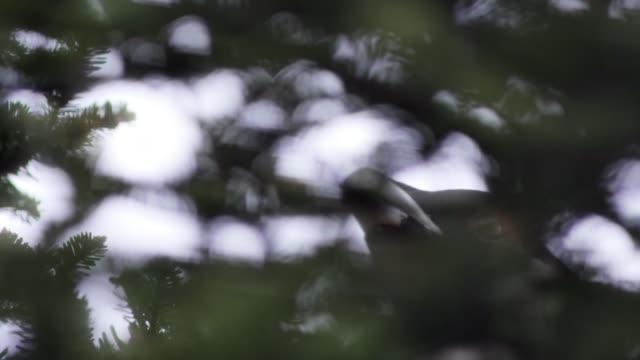 detalj av tetrao urogallus i skogen - tjäder bildbanksvideor och videomaterial från bakom kulisserna