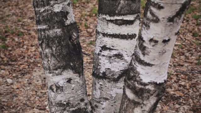 Detail of the bark of the trunk of a birch in a in grey spring day. Three trunks of birch video