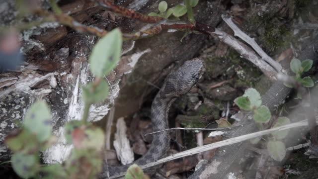 vidéos et rushes de détail de vipère (viperidae) dans les buissons - gris