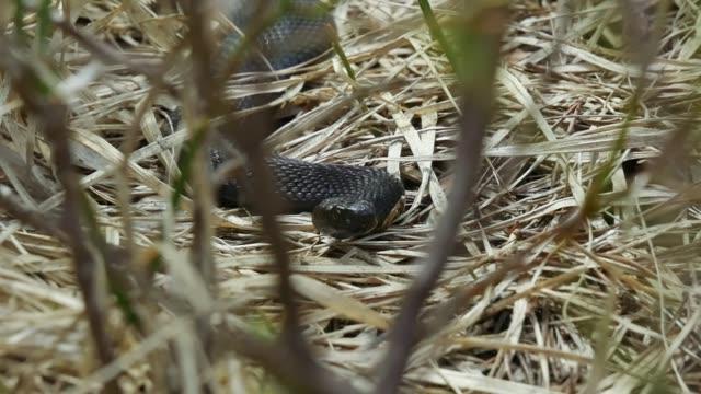Detail of viper snake (Alethinophidia) video