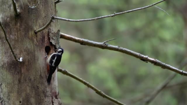 vídeos y material grabado en eventos de stock de detalle de woodpecker (picidae) - diez segundos o más