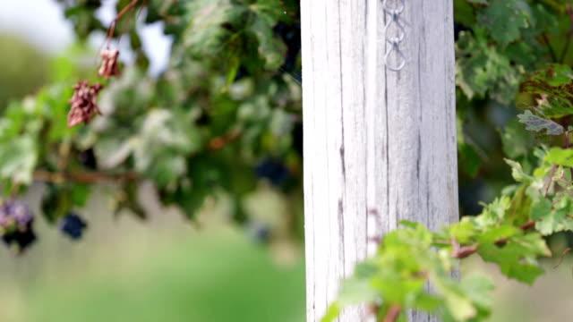 hd: detail pan shot of grape vines with shallow focus - vit rieslingdruva bildbanksvideor och videomaterial från bakom kulisserna