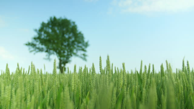 Detail shot of a green wheat field with a oak-tree video