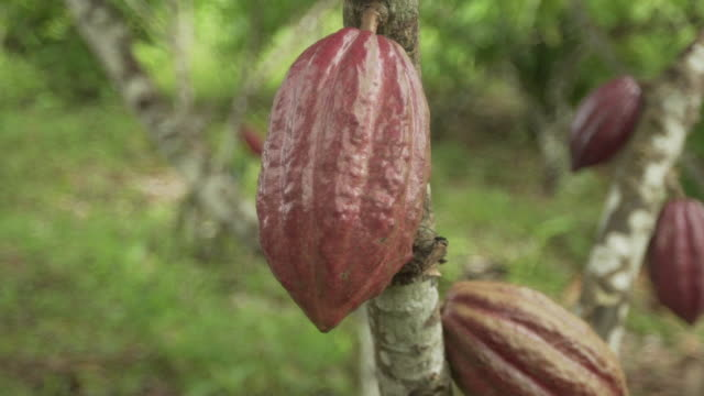 detail shot of cacao tree fruit - theobroma video stock e b–roll
