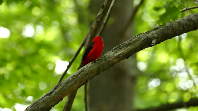 Detailed shot of bright red bird singing in the forest on sunny day