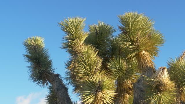 モハベ砂漠の乾燥状態で成長するユッカヤシの詳細なショットをクローズアップ - ジョシュアツリー国立公園点の映像素材/bロール