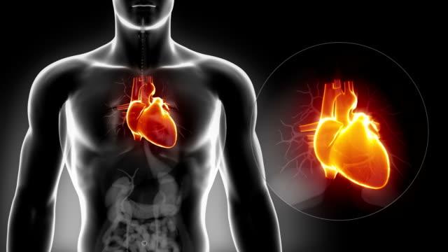 vídeos de stock e filmes b-roll de vista detalhada-coração masculino anatomia de raio x - coração humano