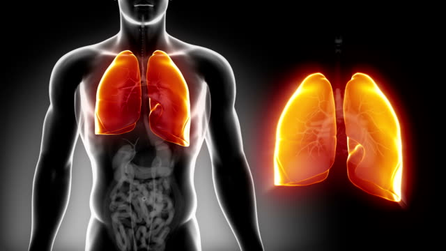 Detailed view - Male LUNGS anatomy in x-ray video