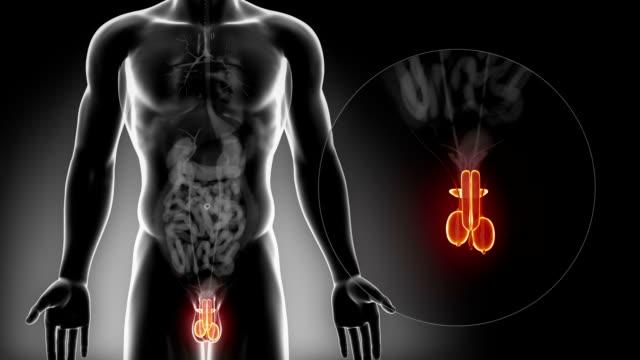 detailed view - male reproductive organs anatomy in x-ray - penis stok videoları ve detay görüntü çekimi