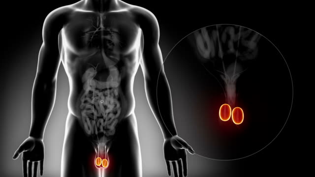detailed view - male testis anatomy in x-ray - penis stok videoları ve detay görüntü çekimi