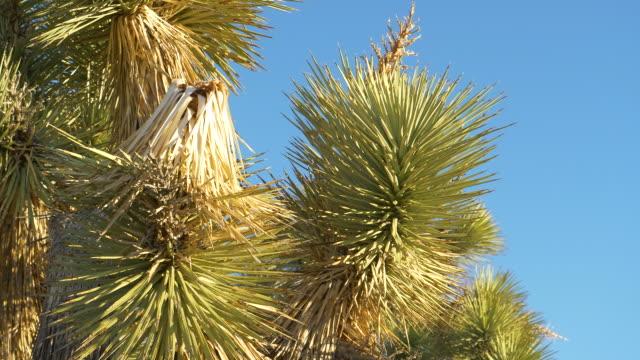 クローズアップ:ユッカヤシのキャノピーを覆う鋭い針の詳細なビュー - ジョシュアツリー国立公園点の映像素材/bロール
