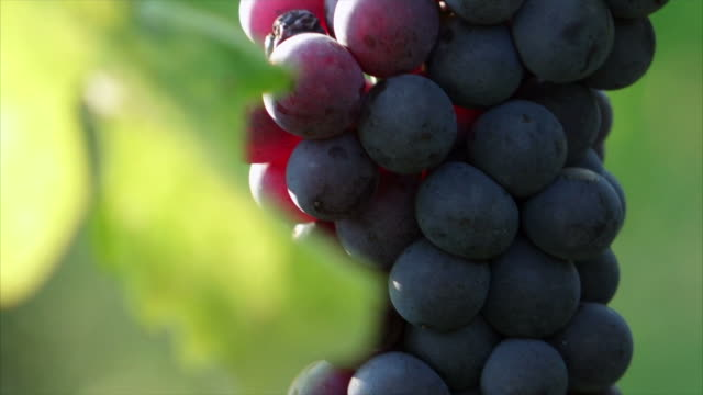 Details bunch of grapes with sun video