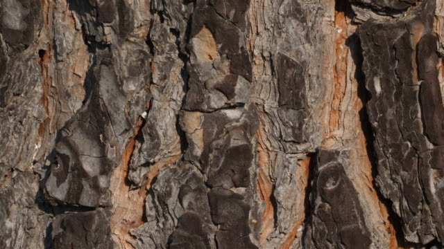 stockvideo's en b-roll-footage met details van schors van speldboom. - video's van beauty