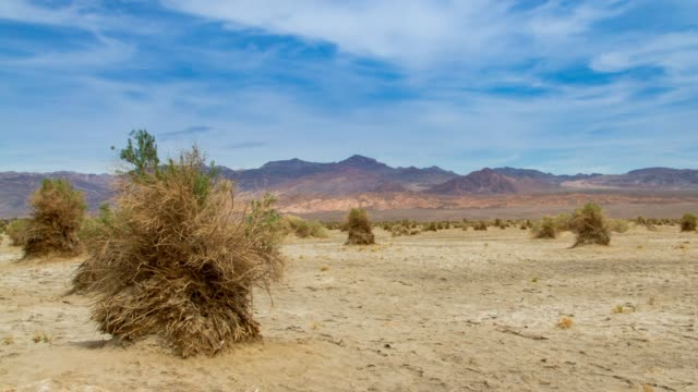 Devil's Cornfield in Death Valley, California Arrowweed plants at Devil's Cornfield in Death Valley, California mojave desert stock videos & royalty-free footage