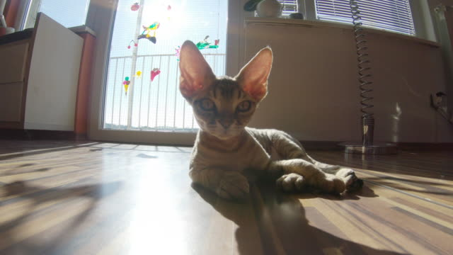 devon rex cat lying on the floor in living room and looking around - fish eye video stock e b–roll