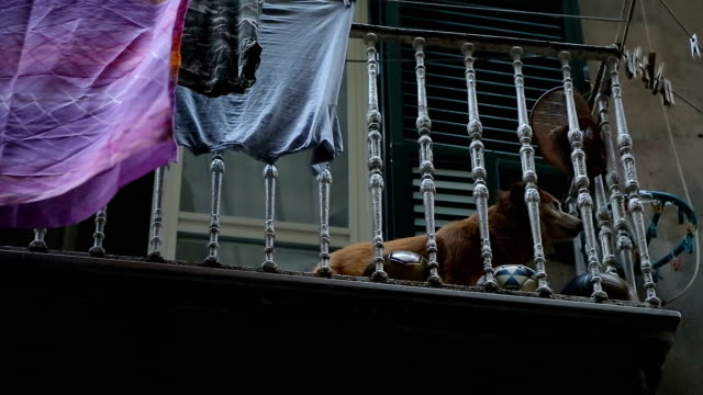 Devoted home dog lying on balcony alone and waiting for its master from work video