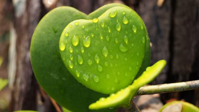 dew drop on hoya leaf