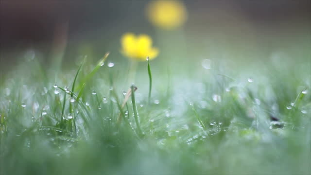 Dew drops on green grass and yelow flower video