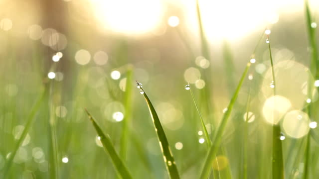 デュー続く緑の芝生。ショット、スライダーます。 ビデオ