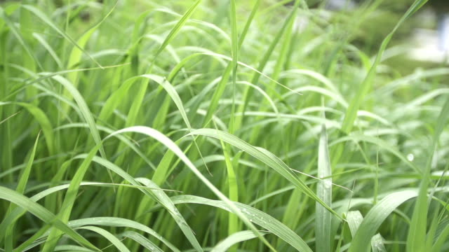Dew on blades of grass in garden video